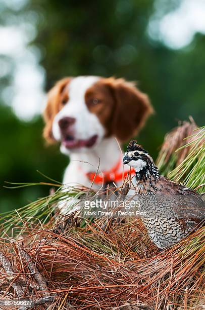 bobwhite quail (colinus virginianus) and brittany spaniel - emery stock photos and pictures