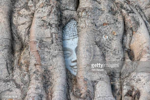 bodhi tree with a buddha head trapped in its roots. - tim bewer stock pictures, royalty-free photos & images