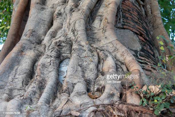 bodhi tree with a buddha head trapped in its roots. - tim bewer stockfoto's en -beelden