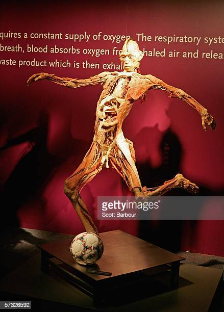 A body specimen sits on display during the BodiesThe Exhibition on April 12 2006 in London England The exhibition gives the public the unique...