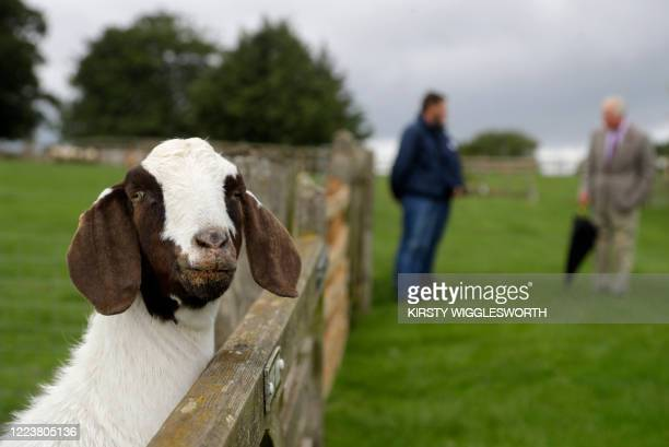 A Boer goat looks over a fence as Britain's Prince Charles Prince of Wales talks to members of staff during his visit to Cotswold Farm Park near...