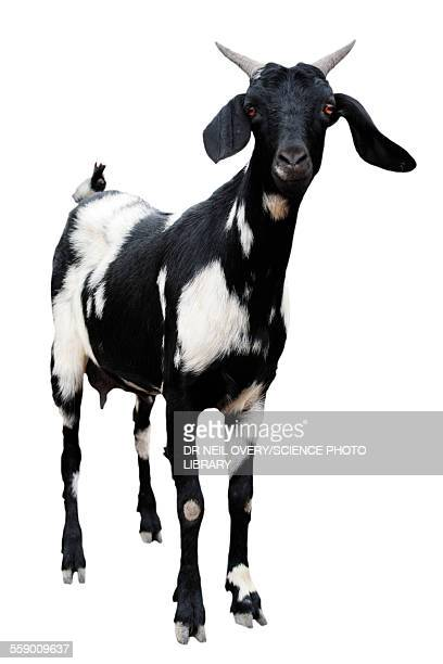 boer goat - goats stock pictures, royalty-free photos & images