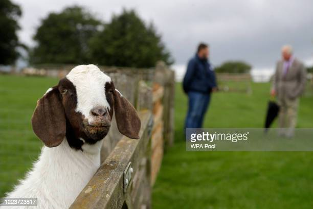 Boer goat poses for a picture as Prince Charles Prince of Wales patron of the Rare Breeds Survival Trust right visits Cotswold Farm Park in Guiting...