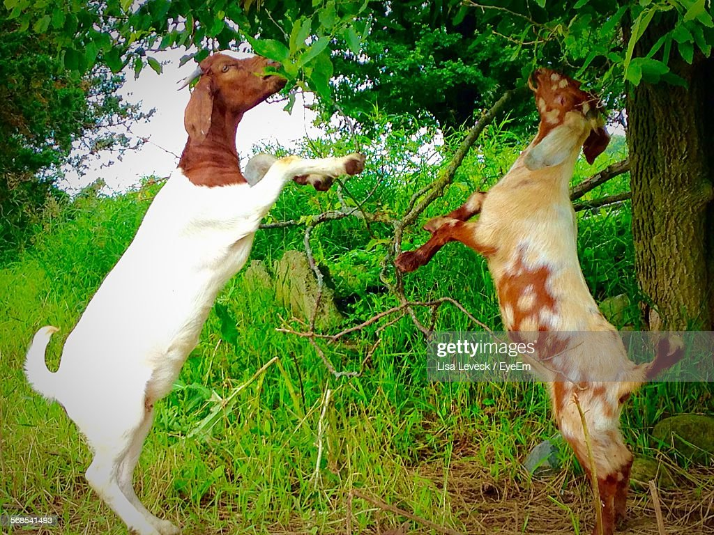 Boer Goats Rearing Up And Eating Leaves : Stock Photo