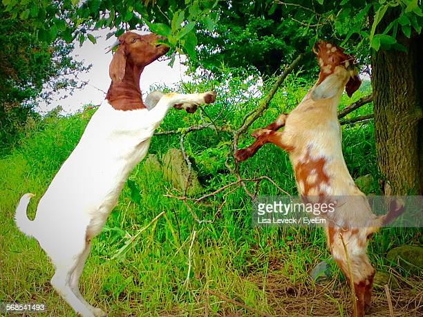 Boer Goats Rearing Up And Eating Leaves