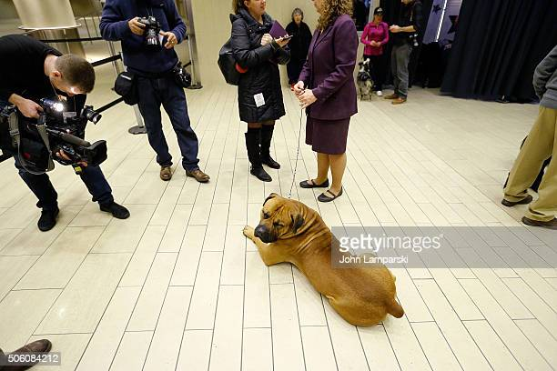 Boerboel breed is displayed during the 140th annual Westminster Kennel Club Dog Show meet the new breeds at Madison Square Garden on January 21 2016...