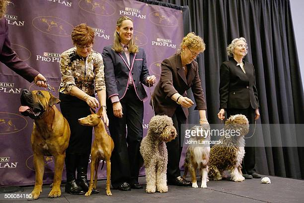Boerboel Cirneco dellEtna Lagotto Romagnolo Minature American Shepherd and Spanish Water Dog breeds are displayed during the 140th annual Westminster...