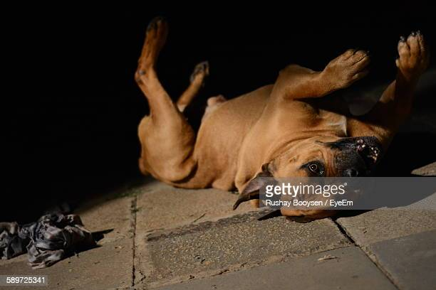 Boerboel Lying Upside Down On Floor