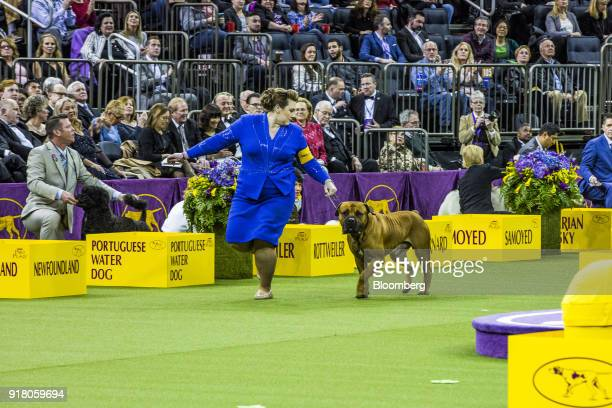 A Boerboel walks with a handler while competing at the 142nd Westminster Kennel Club Dog Show in New York US on Tuesday Feb 13 2018 The Westminster...