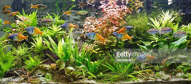 Boesemans rainbowfishes, Melanotaenia boesemani and Congo tetras, Phenacogrammus interruptus swimming in fresh water aquarium