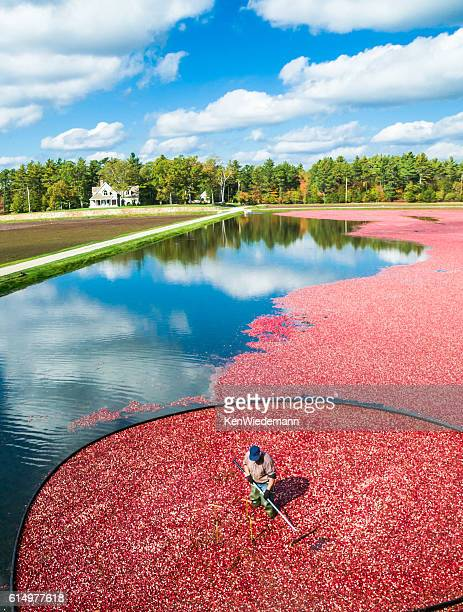 bog reflections - cranberry harvest stock pictures, royalty-free photos & images