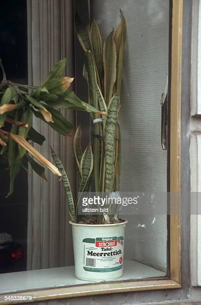 Bogenhanf in einem Plastikeimer im Fenster einer Ladenwohnung in Neukölln 2000