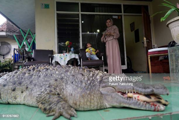 JANUARY 2018 Bogor West Java Indonesia Kojek the crocodile at home with family members including a child behind him in Bogor West java Indonesia N A...