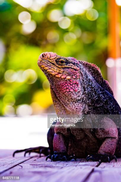bohemian iguana - green iguana ストックフォトと画像