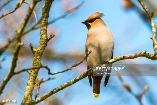 bohemian waxwing in 'handkerchief' tree - perching stock photos and pictures