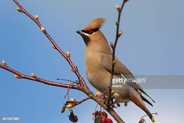 Bohemian waxwing perched in crabapple / European crab apple tree in spring