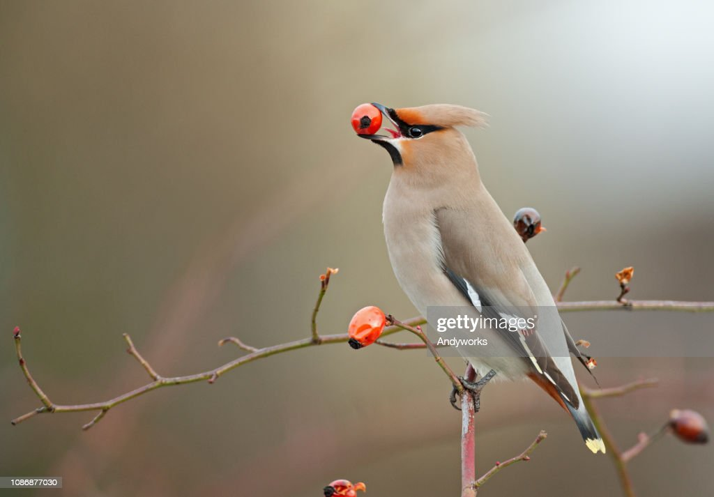 Bohemian waxwing perching on a dogrose : Stock Photo