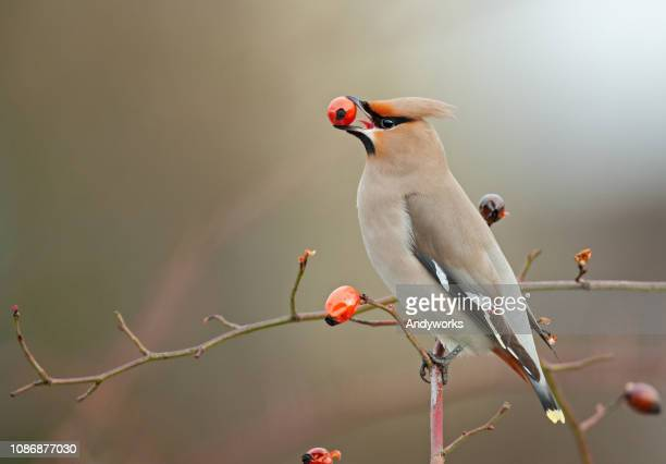 bohemian waxwing perching on a dogrose - swallow bird stock pictures, royalty-free photos & images