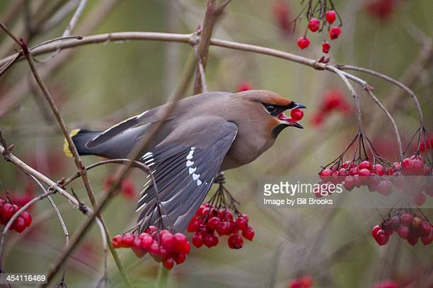 bohemian waxwing - swallow bird stock pictures, royalty-free photos & images
