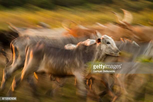 bois correndo no pasto ao entardecer. - correndo stock photos and pictures