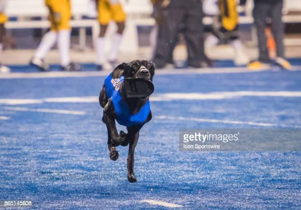 Boise State Broncos tee retriever 'Coal' brings in the opening kickoff tee during the regular season game between the Wyoming Cowboys verses the...