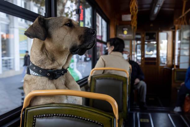 TUR: Istanbul's Commuter Street Dog Boji, Becomes Internet Sensation