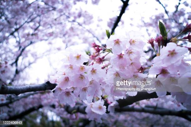 bokeh image of cherry blossoms in the city of tokyo, japan at spring. - 桜吹雪 ストックフォトと画像
