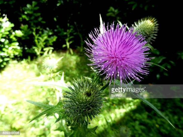 Bold colors, the purple Mediterranean milk thistle