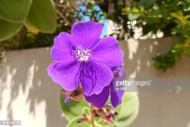 Bold Colours, close-up of beautiful purple violet flower
