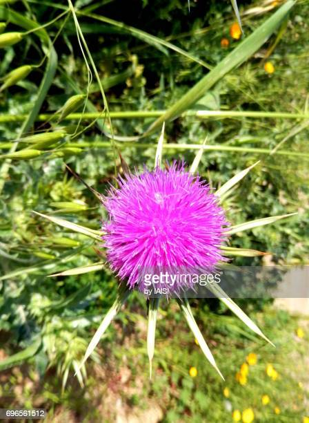 Bold Colours, The purple Mediterranean thistle