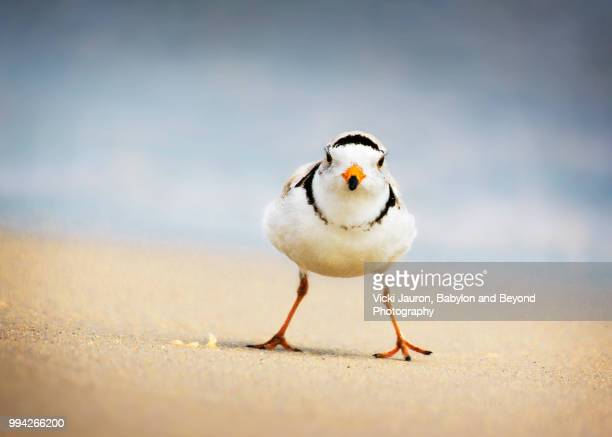 bold piping plover adult looking at camera on the beach at jones beach - wader bird stock photos and pictures