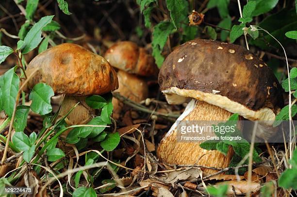 boletus mushrooms - tempio pausania stock-fotos und bilder