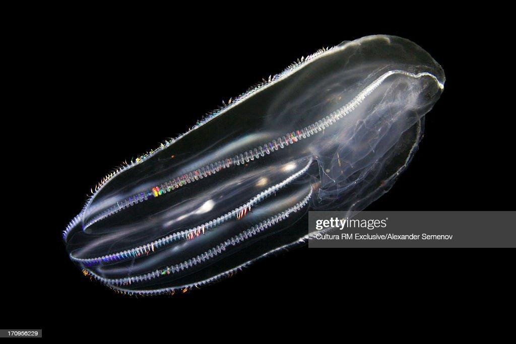 Bolinopsis infundibuliformis comb jelly : Stock Photo