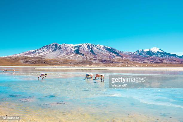 bolivia, andean altiplano, laguna hedionda, a saline lake with pink and white flamingos - bolivia stockfoto's en -beelden