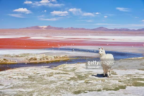 bolivia, laguna colorada, llama standing at lakeshore - llama animal fotografías e imágenes de stock
