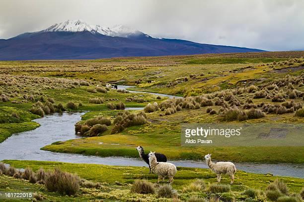 bolivia, tomarapi, alpacas grazing - llama animal fotografías e imágenes de stock