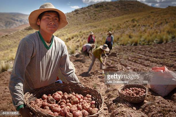 A Bolivian farmer is holding a basket of freshly harvested potatoes in his hands In the background farmers are harvesting potatoes in the Andes of...