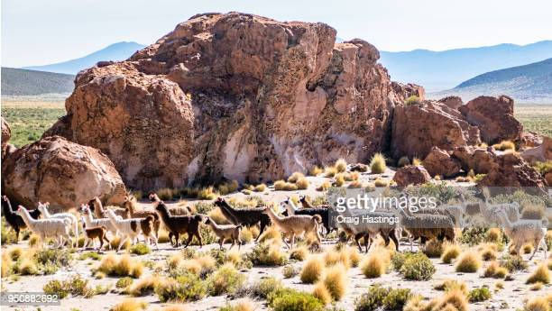 bolivian llamas - altiplano stock pictures, royalty-free photos & images