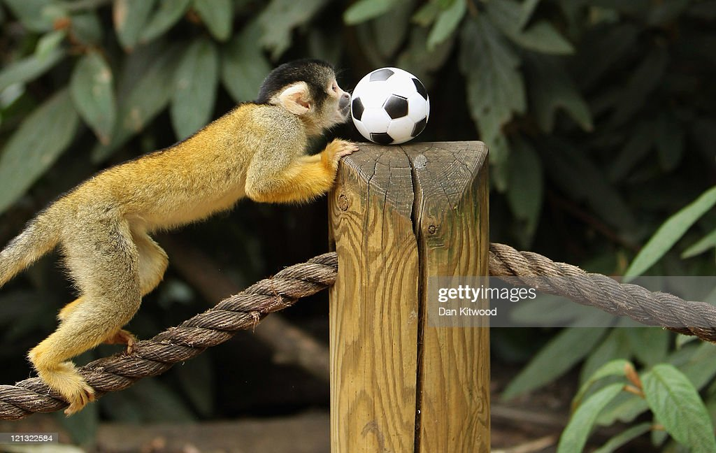 A Bolivian Squirrel monkey plays with a toy football at London Zoo on August 18, 2011 in London, England. Male monkey Bounty has fathered eleven baby monkeys in the last three years since his arrival, enough to make up a football team. His latest offspring named Rolo was the eleventh and arrived last month.