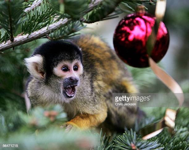Bolivian Squirrel Monkey reacts after seeing a reflective bauble in the branches of a Christmas Tree as London Zoo's thirteen squirrel monkeys enjoy...
