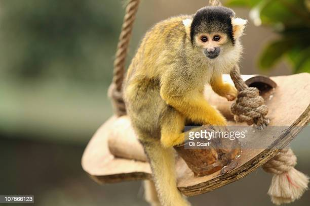 Bolivian squirrel monkey sits in its enclosure during the ZSL London Zoo's annual stocktake on January 4 2011 in London England London Zoo is home to...
