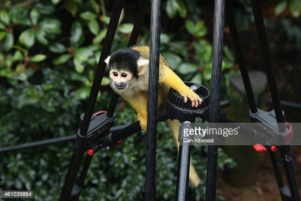 Bolivian Squirrel Monkey sits on a cameramans tripod during the ZSL London Zoo's annual stocktake of animals on January 5 2015 in London England The...