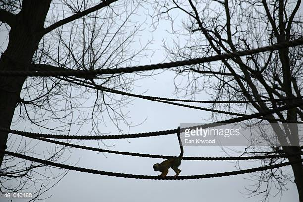 Bolivian Squirrel Monkey walks across a rope during the ZSL London Zoo's annual stocktake of animals on January 5 2015 in London England The zoo's...