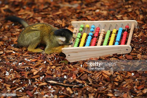 Bolivian Squirrel Monkeys play with an abacus during the ZSL London Zoo's annual stocktake of animals on January 5 2015 in London England The zoo's...