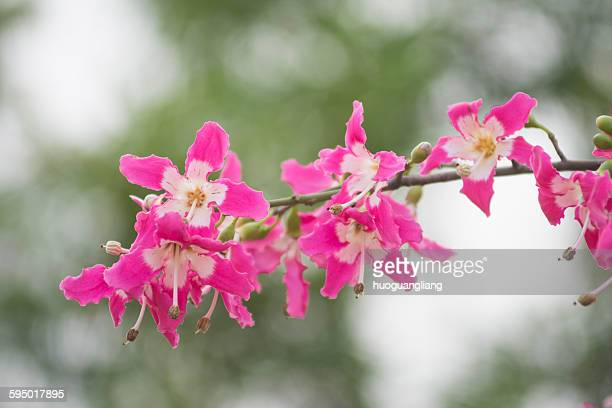 Bombacaceae
