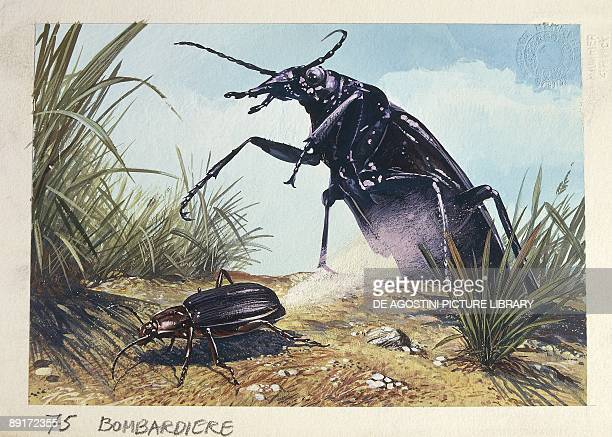 Bombardier Beetles illustration