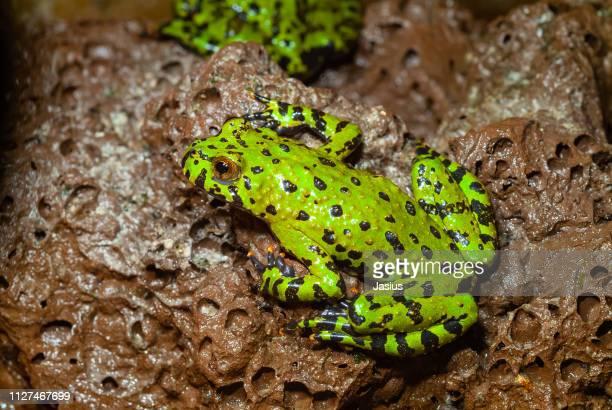 Bombina Orientalis Oriental Firebellied Toad Frog Stock