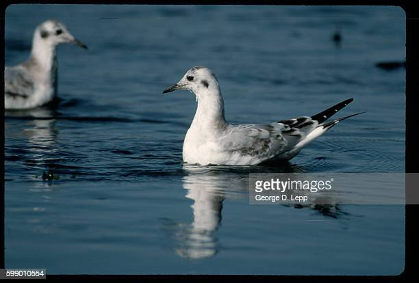 Bonaparte's Gull Swimming in Winter Plumage