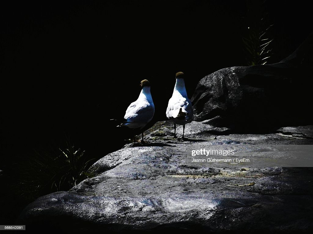 Bonapartes Gulls On Rock : Stock Photo