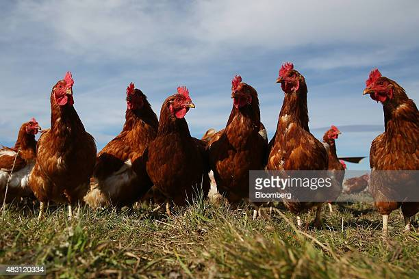 Bond Red hens stand in a field at the Mulloon Creek Natural Farm in Bungendore, Australia, on Thursday, July 30, 2015. Australia's gross domestic...